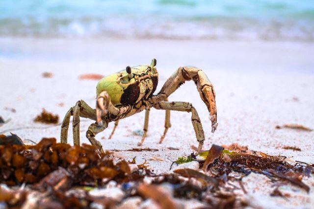 Crab 650 Chabil Mar Resort Belize