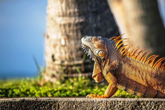 Iguana Closeup 650 Chabil Mar Resort Belize