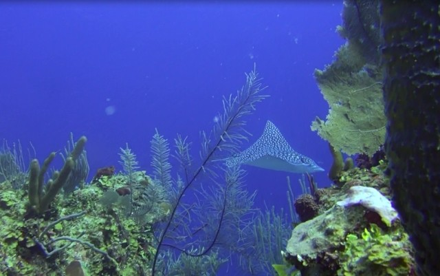 eagle ray 650 chabil mar belize resort