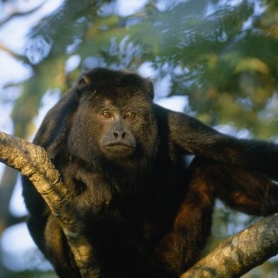 Monkey River Adventure and Howler Monkey Interaction