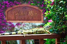 Iguana at Chabil Mar