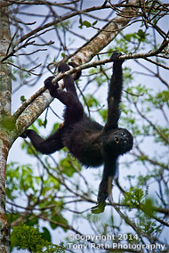 black howler monkey in tree