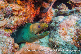 Moray eel in coral reef