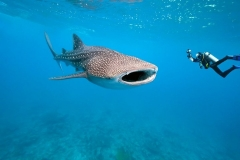 Only Place in the World - Whale Shark Diving - Placencia Belize