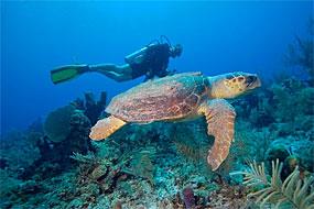 diver turtle