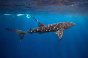 whale shark01